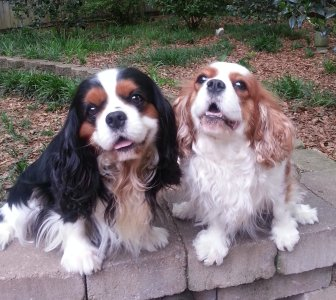 Cavalier King Charles Spaniel Breeder Puppy Mobile Alabama